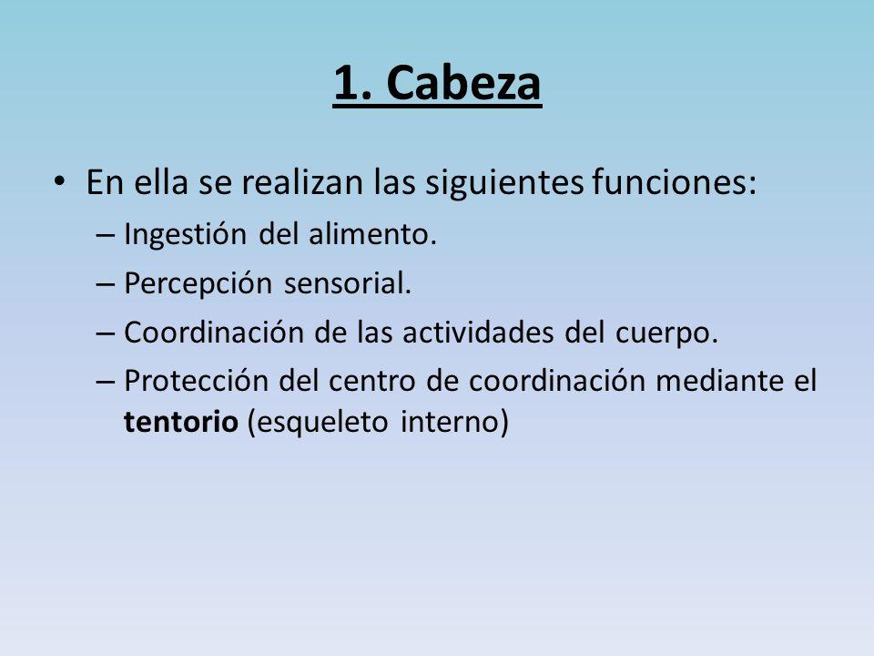 1.Cabeza En ella se realizan las siguientes funciones: – Ingestión del alimento.