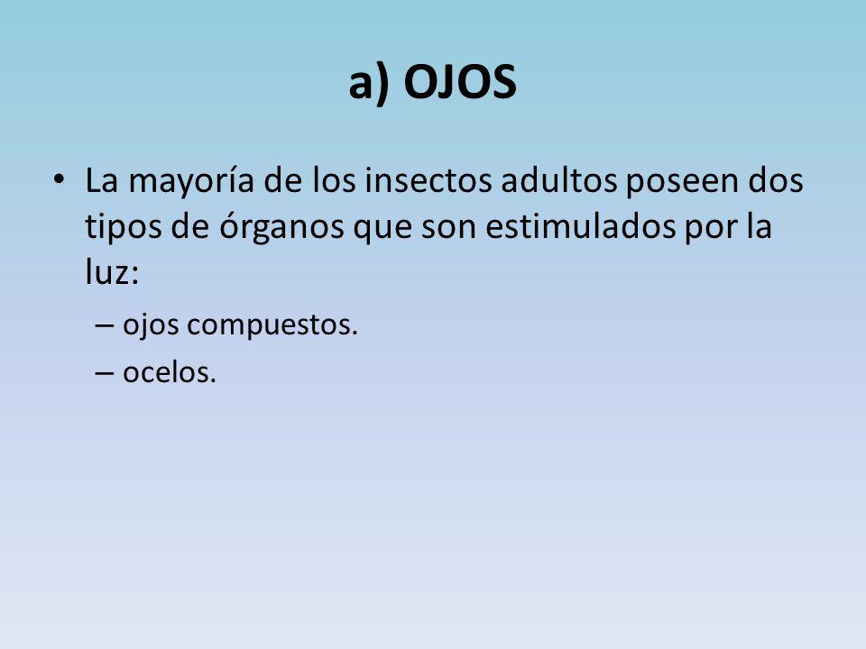 a) OJOS La mayoría de los insectos adultos poseen dos tipos de órganos que son estimulados por la luz: – ojos compuestos.