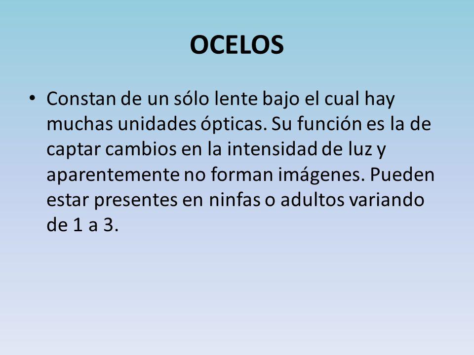 OCELOS Constan de un sólo lente bajo el cual hay muchas unidades ópticas.