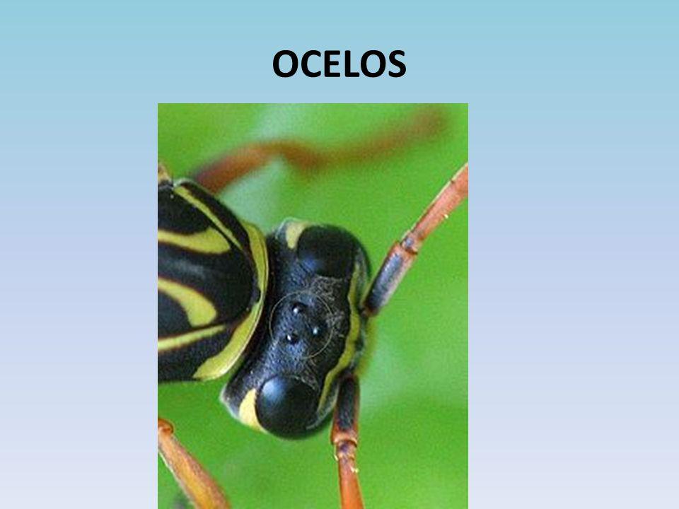 OCELOS