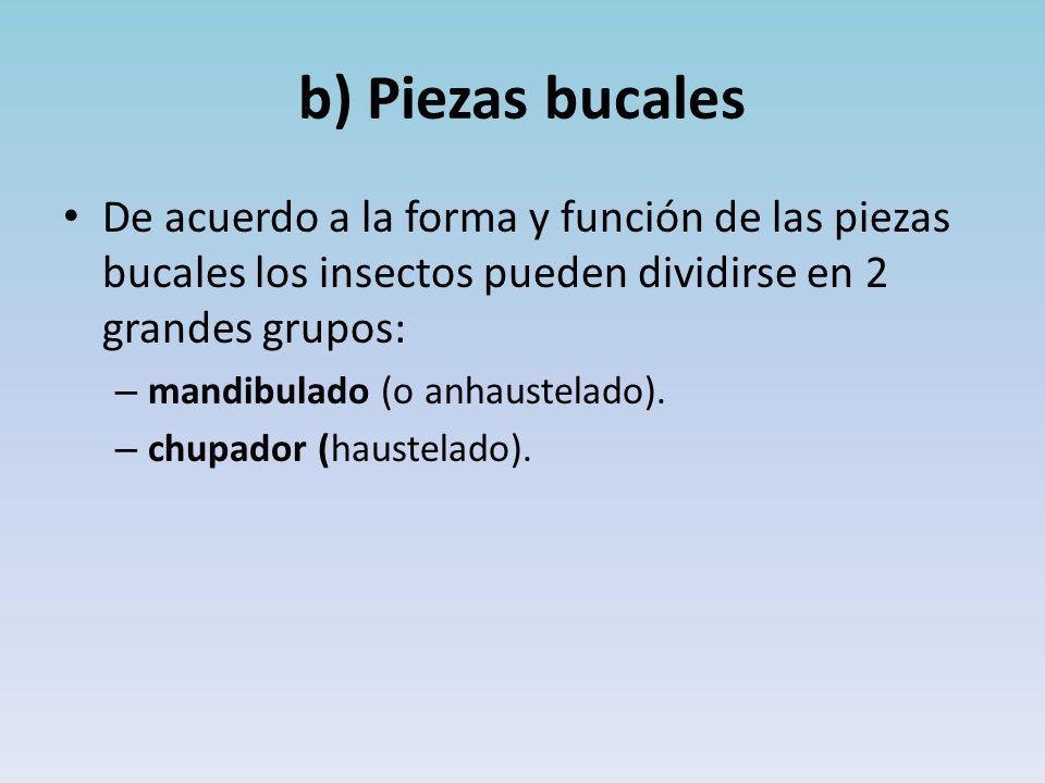 b) Piezas bucales De acuerdo a la forma y función de las piezas bucales los insectos pueden dividirse en 2 grandes grupos: – mandibulado (o anhaustelado).