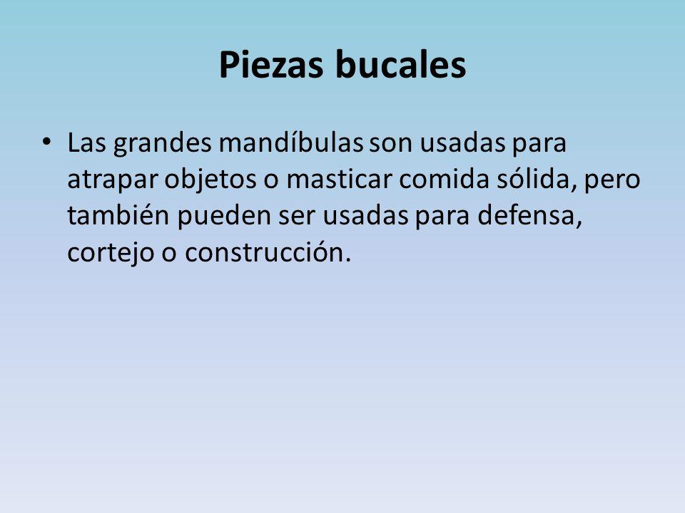 Piezas bucales Las grandes mandíbulas son usadas para atrapar objetos o masticar comida sólida, pero también pueden ser usadas para defensa, cortejo o construcción.