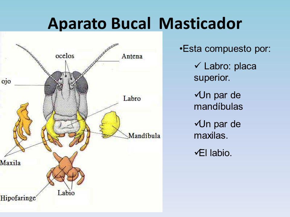Aparato Bucal Masticador Esta compuesto por: Labro: placa superior.