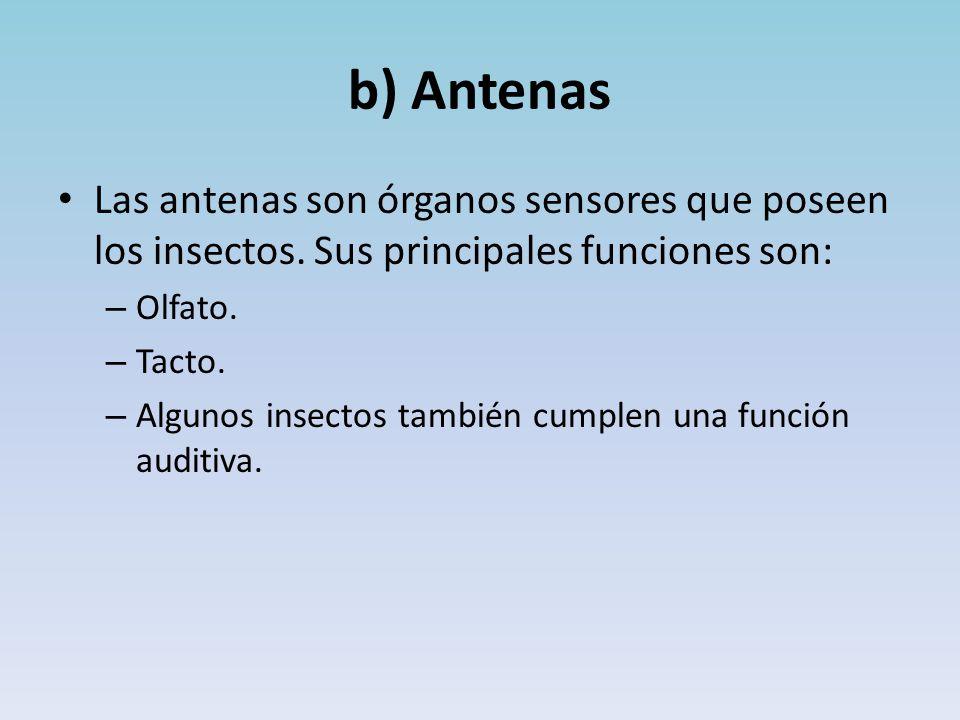 b) Antenas Las antenas son órganos sensores que poseen los insectos.