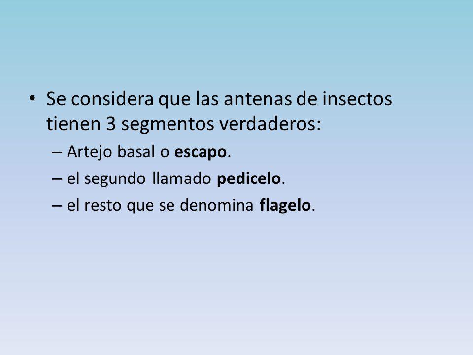 Se considera que las antenas de insectos tienen 3 segmentos verdaderos: – Artejo basal o escapo.