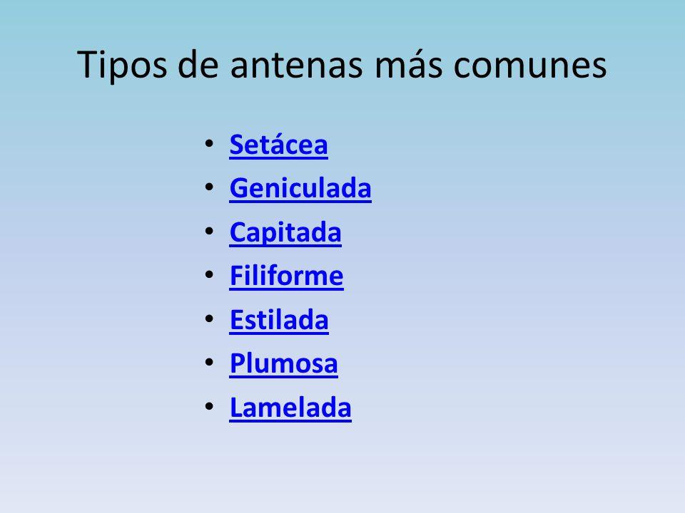 Tipos de antenas más comunes Setácea Geniculada Capitada Filiforme Estilada Plumosa Lamelada