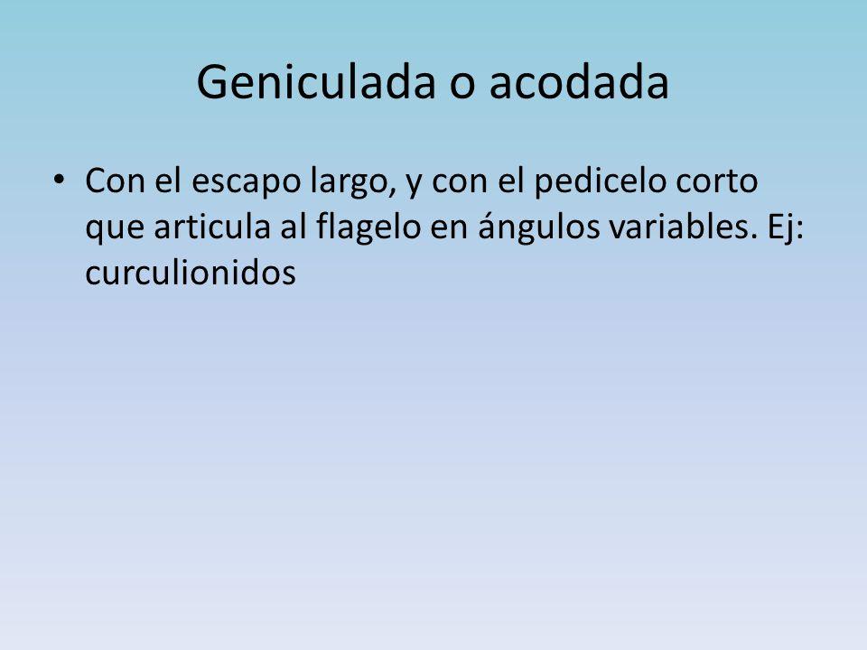 Geniculada o acodada Con el escapo largo, y con el pedicelo corto que articula al flagelo en ángulos variables.