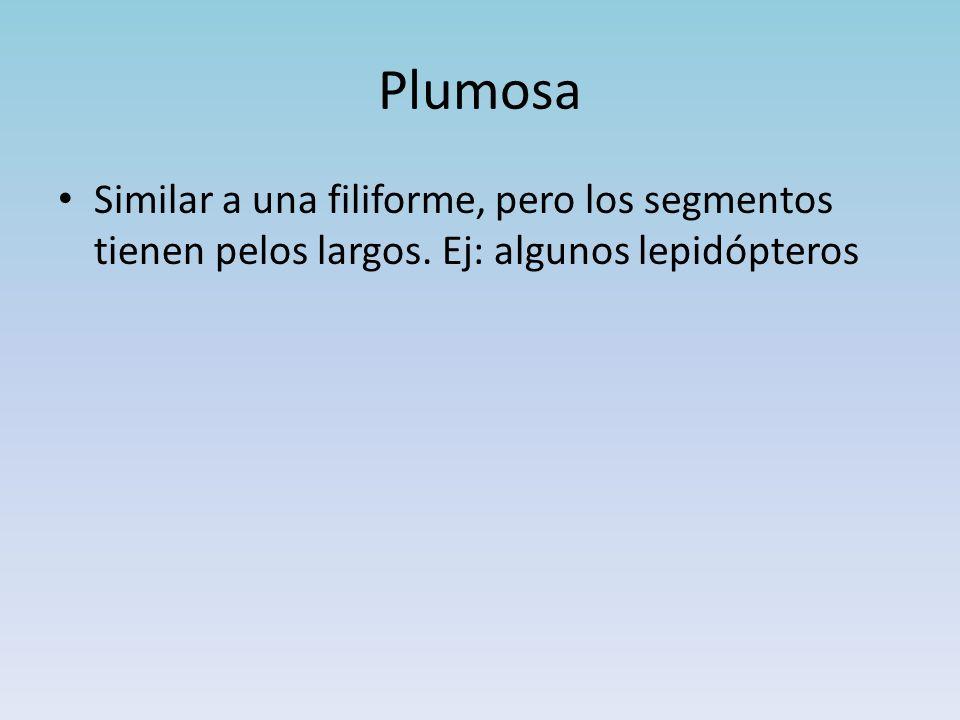 Plumosa Similar a una filiforme, pero los segmentos tienen pelos largos. Ej: algunos lepidópteros