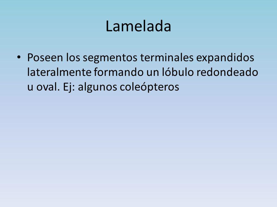 Lamelada Poseen los segmentos terminales expandidos lateralmente formando un lóbulo redondeado u oval.