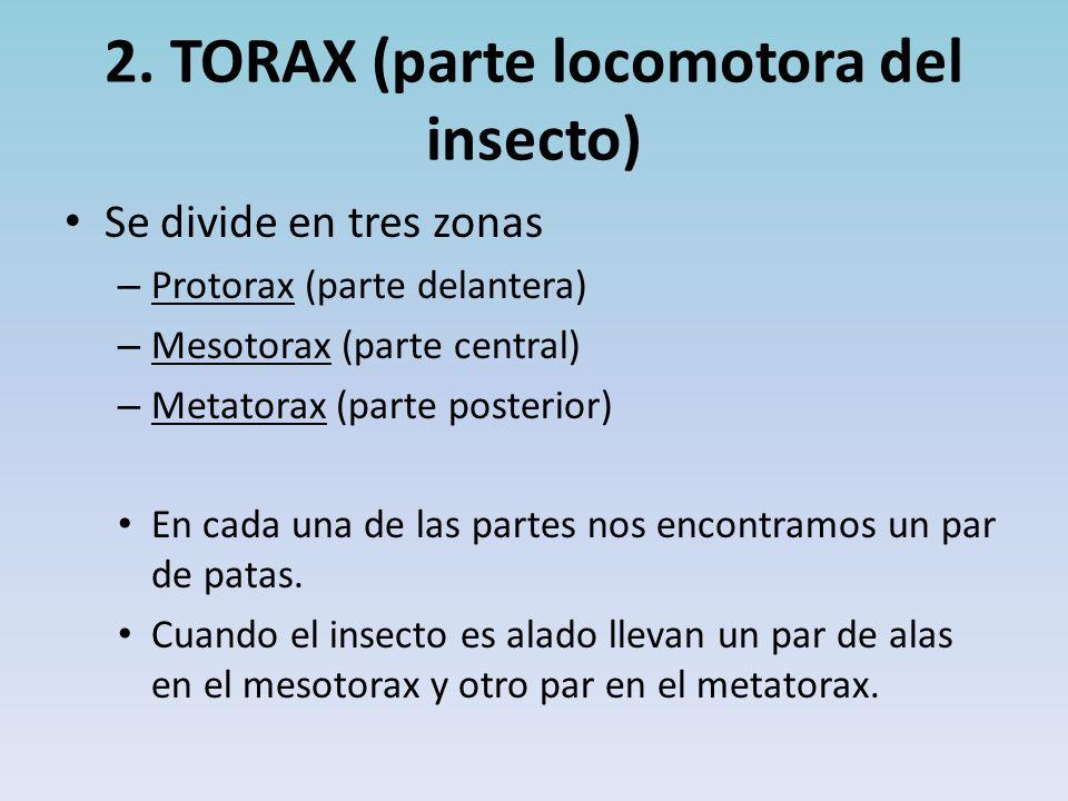 2. TORAX (parte locomotora del insecto) Se divide en tres zonas – Protorax (parte delantera) – Mesotorax (parte central) – Metatorax (parte posterior)