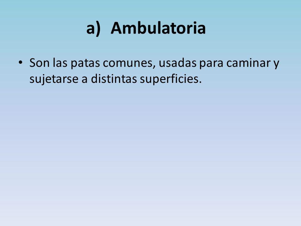 a)Ambulatoria Son las patas comunes, usadas para caminar y sujetarse a distintas superficies.