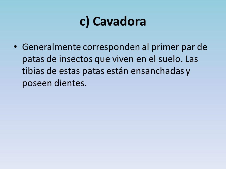 c) Cavadora Generalmente corresponden al primer par de patas de insectos que viven en el suelo.