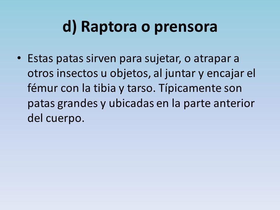 d) Raptora o prensora Estas patas sirven para sujetar, o atrapar a otros insectos u objetos, al juntar y encajar el fémur con la tibia y tarso.