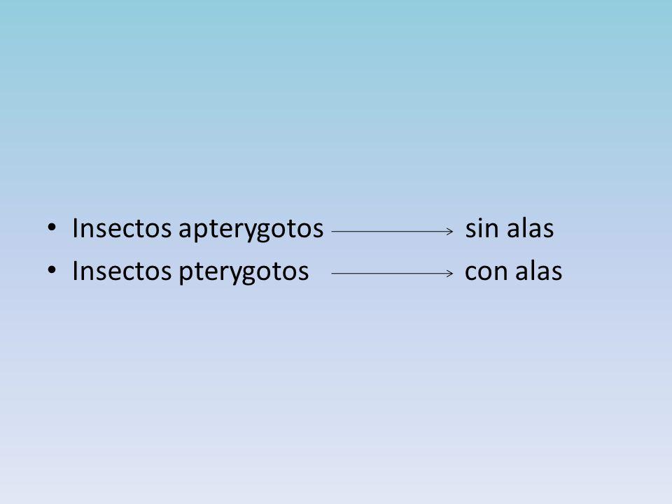 Insectos apterygotos sin alas Insectos pterygotos con alas