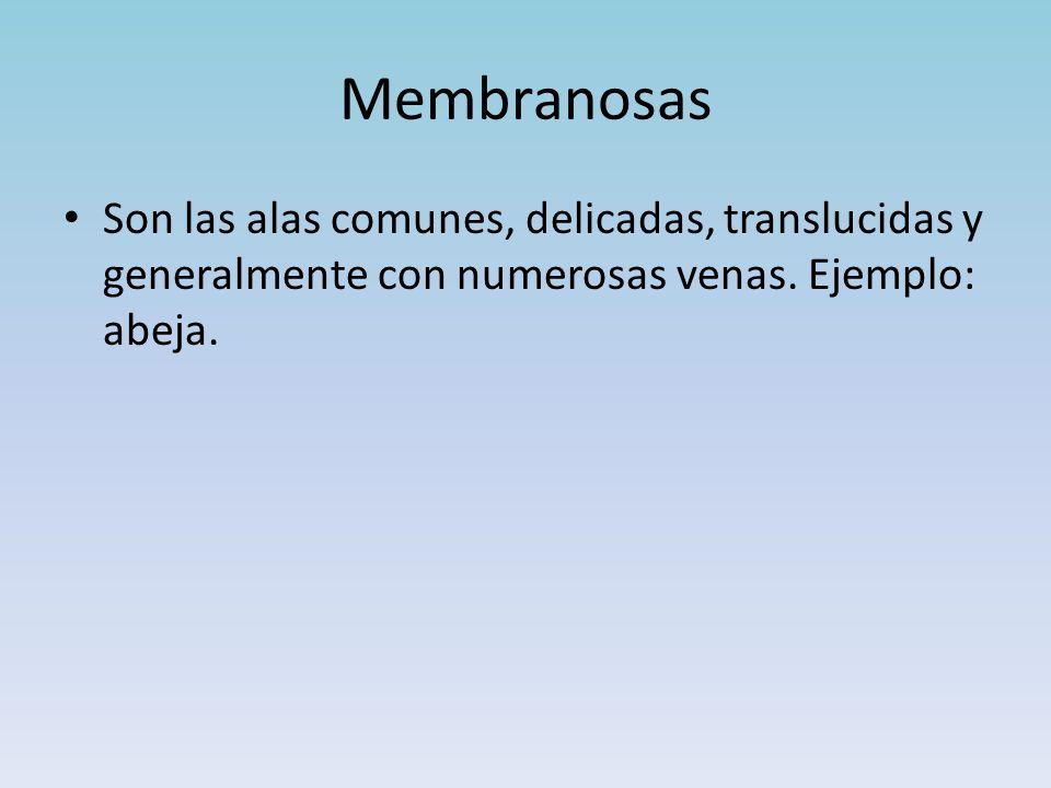 Membranosas Son las alas comunes, delicadas, translucidas y generalmente con numerosas venas.