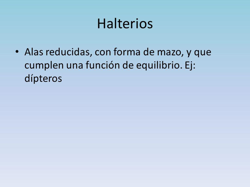 Halterios Alas reducidas, con forma de mazo, y que cumplen una función de equilibrio. Ej: dípteros