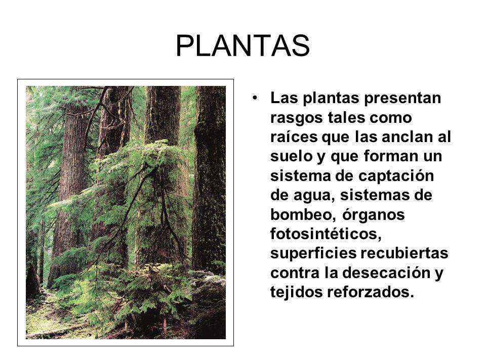 PLANTAS Las plantas presentan rasgos tales como raíces que las anclan al suelo y que forman un sistema de captación de agua, sistemas de bombeo, órganos fotosintéticos, superficies recubiertas contra la desecación y tejidos reforzados.