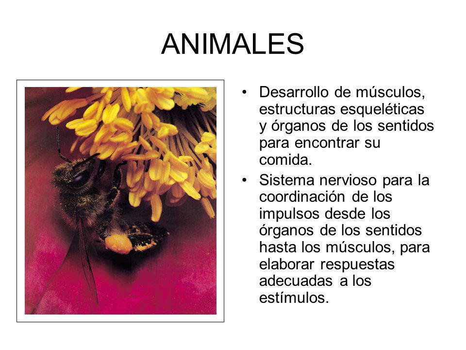ANIMALES Desarrollo de músculos, estructuras esqueléticas y órganos de los sentidos para encontrar su comida. Sistema nervioso para la coordinación de