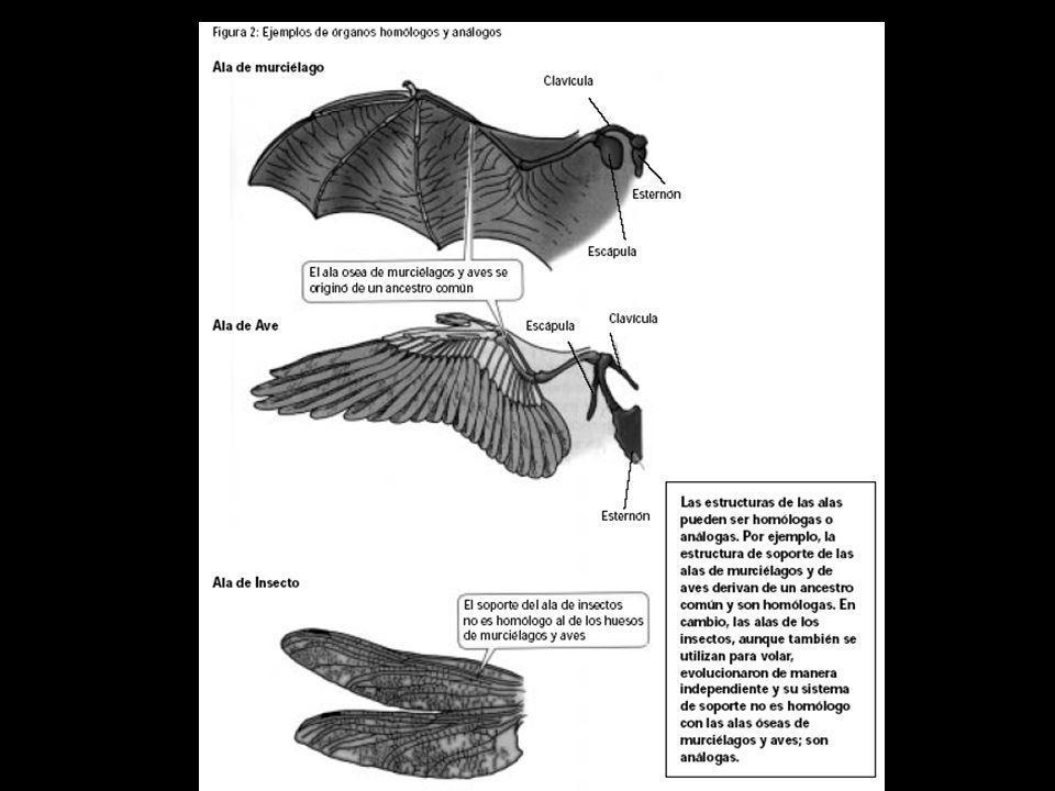 ORGANOS HOMOLOGOS Similitud que resulta como consecuencia de la ancestralidad común de un grupo de especies.