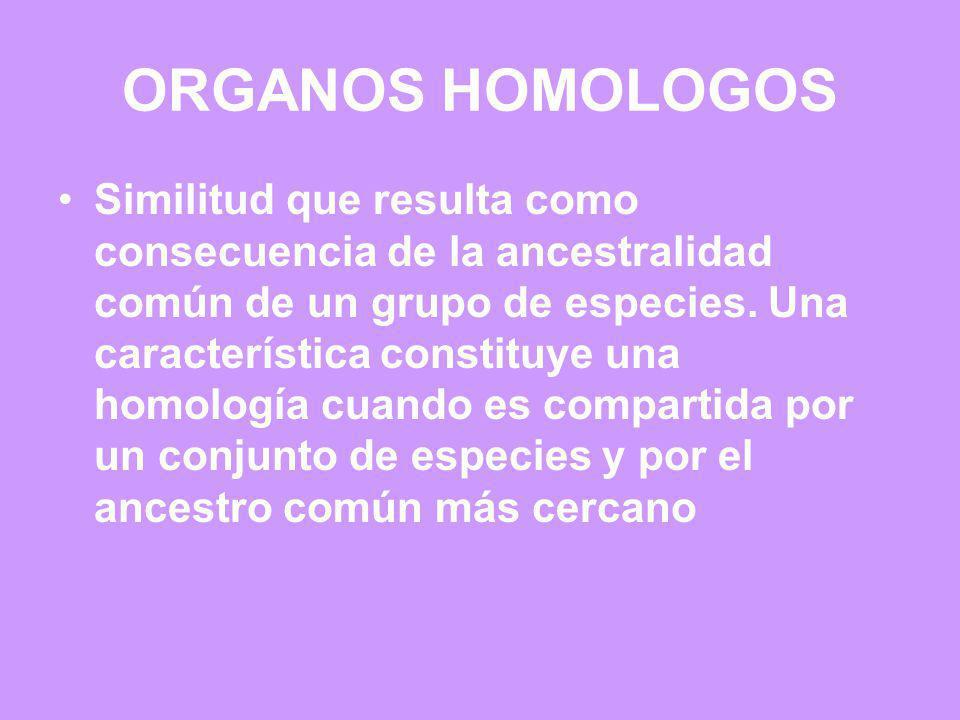 ORGANOS HOMOLOGOS Similitud que resulta como consecuencia de la ancestralidad común de un grupo de especies. Una característica constituye una homolog