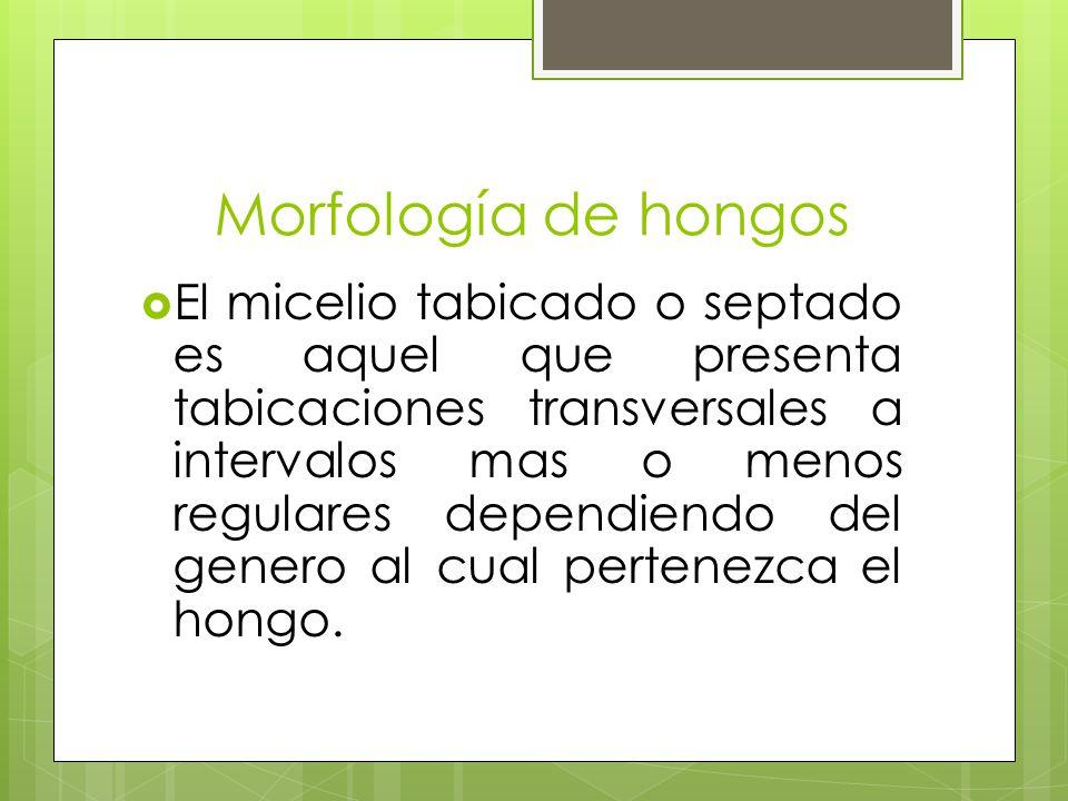 Morfología de hongos El micelio tabicado o septado es aquel que presenta tabicaciones transversales a intervalos mas o menos regulares dependiendo del