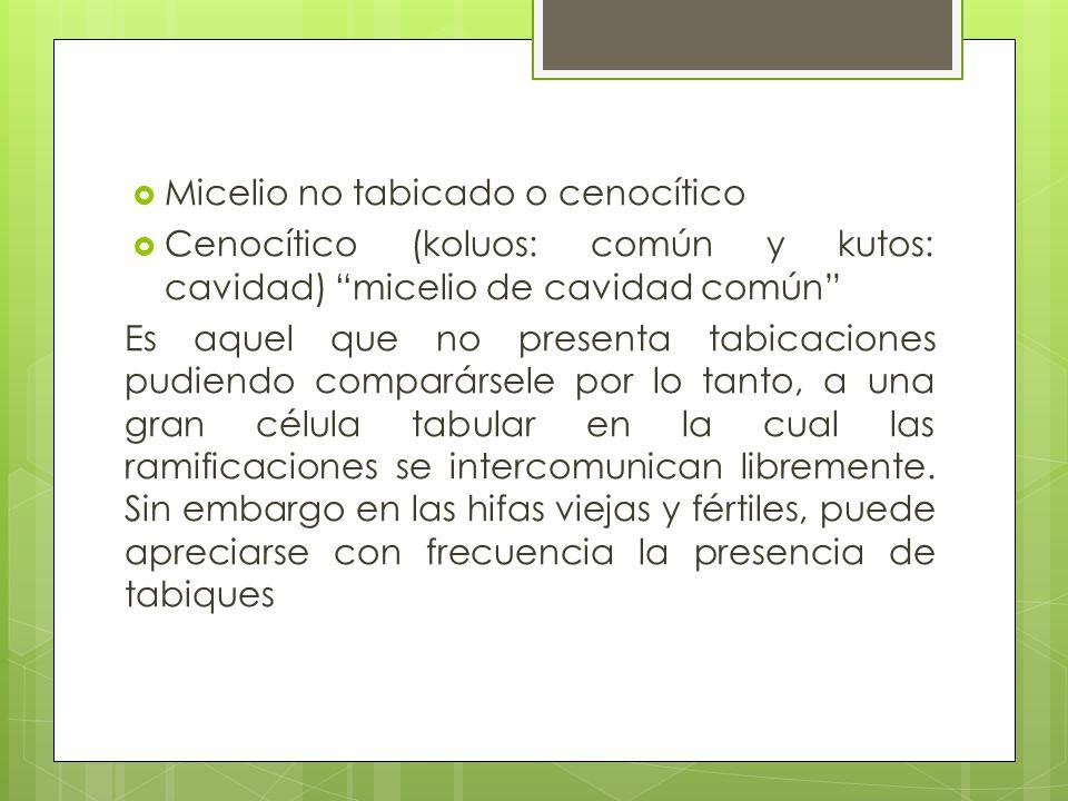 Micelio no tabicado o cenocítico Cenocítico (koluos: común y kutos: cavidad) micelio de cavidad común Es aquel que no presenta tabicaciones pudiendo c