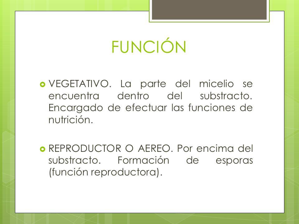 FUNCIÓN VEGETATIVO. La parte del micelio se encuentra dentro del substracto. Encargado de efectuar las funciones de nutrición. REPRODUCTOR O AEREO. Po