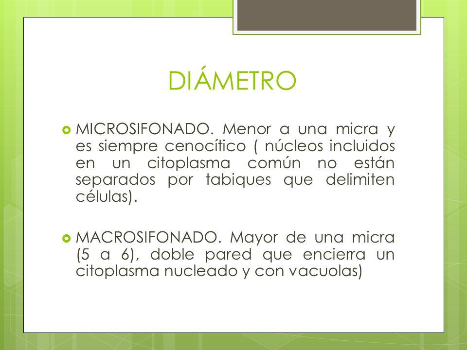 DIÁMETRO MICROSIFONADO. Menor a una micra y es siempre cenocítico ( núcleos incluidos en un citoplasma común no están separados por tabiques que delim