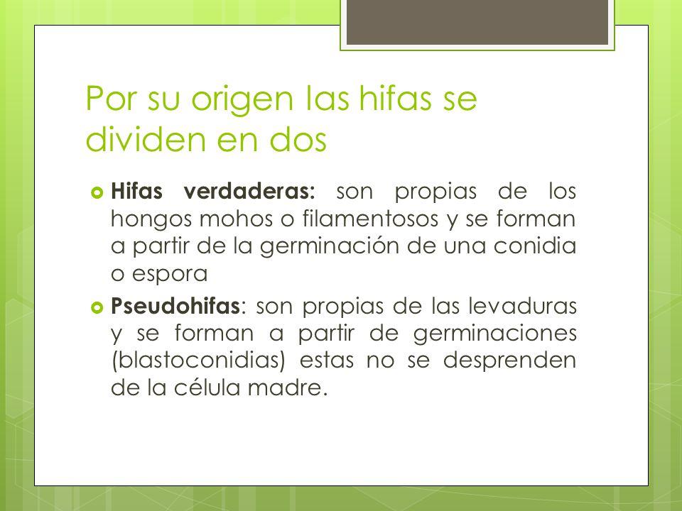 Por su origen las hifas se dividen en dos Hifas verdaderas: son propias de los hongos mohos o filamentosos y se forman a partir de la germinación de u