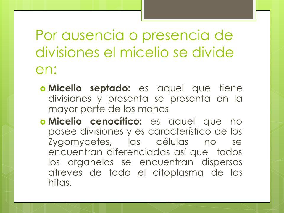 Por ausencia o presencia de divisiones el micelio se divide en: Micelio septado: es aquel que tiene divisiones y presenta se presenta en la mayor part