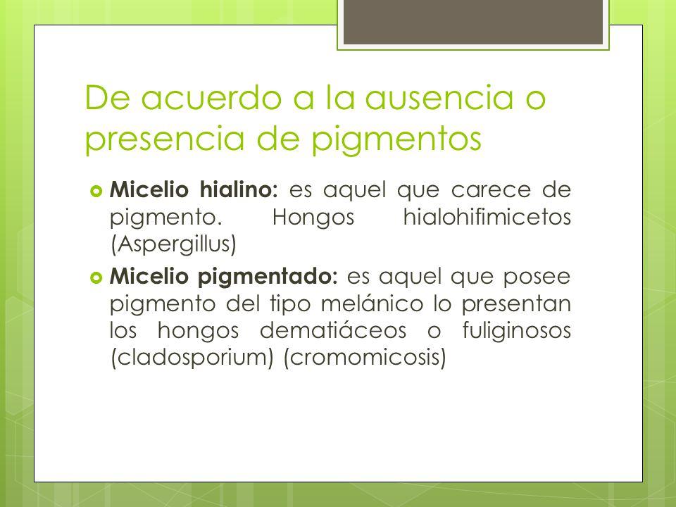 De acuerdo a la ausencia o presencia de pigmentos Micelio hialino: es aquel que carece de pigmento. Hongos hialohifimicetos (Aspergillus) Micelio pigm