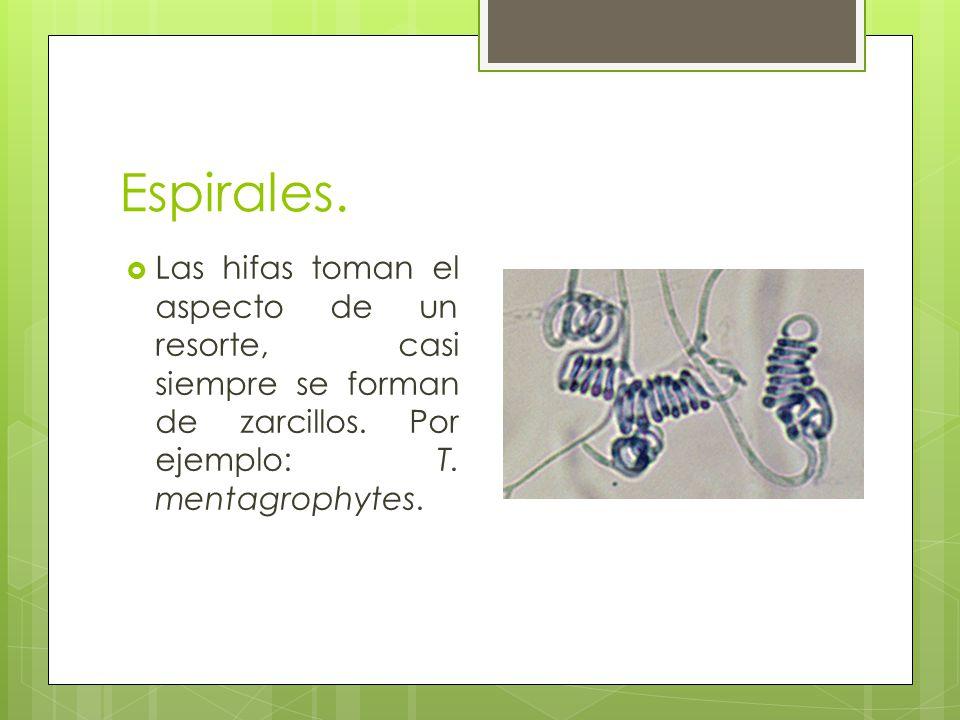 Espirales. Las hifas toman el aspecto de un resorte, casi siempre se forman de zarcillos. Por ejemplo: T. mentagrophytes.