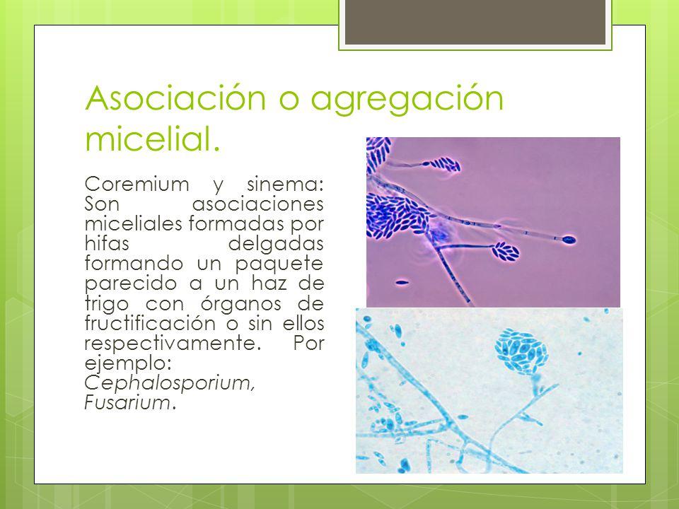 Asociación o agregación micelial. Coremium y sinema: Son asociaciones miceliales formadas por hifas delgadas formando un paquete parecido a un haz de