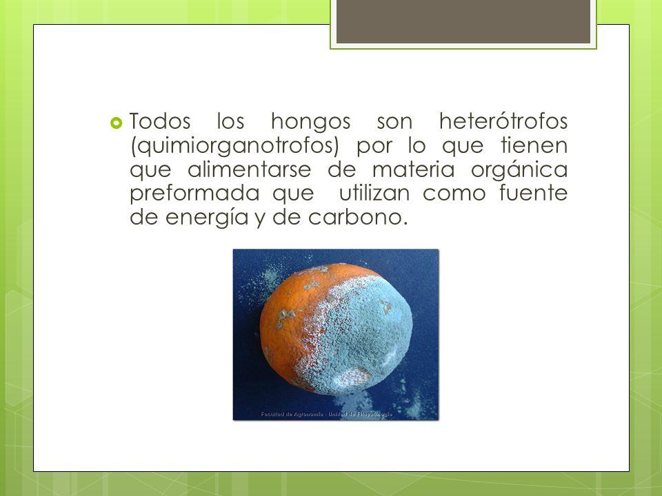 Todos los hongos son heterótrofos (quimiorganotrofos) por lo que tienen que alimentarse de materia orgánica preformada que utilizan como fuente de ene