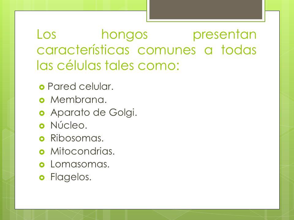 Los hongos presentan características comunes a todas las células tales como: Pared celular. Membrana. Aparato de Golgi. Núcleo. Ribosomas. Mitocondria