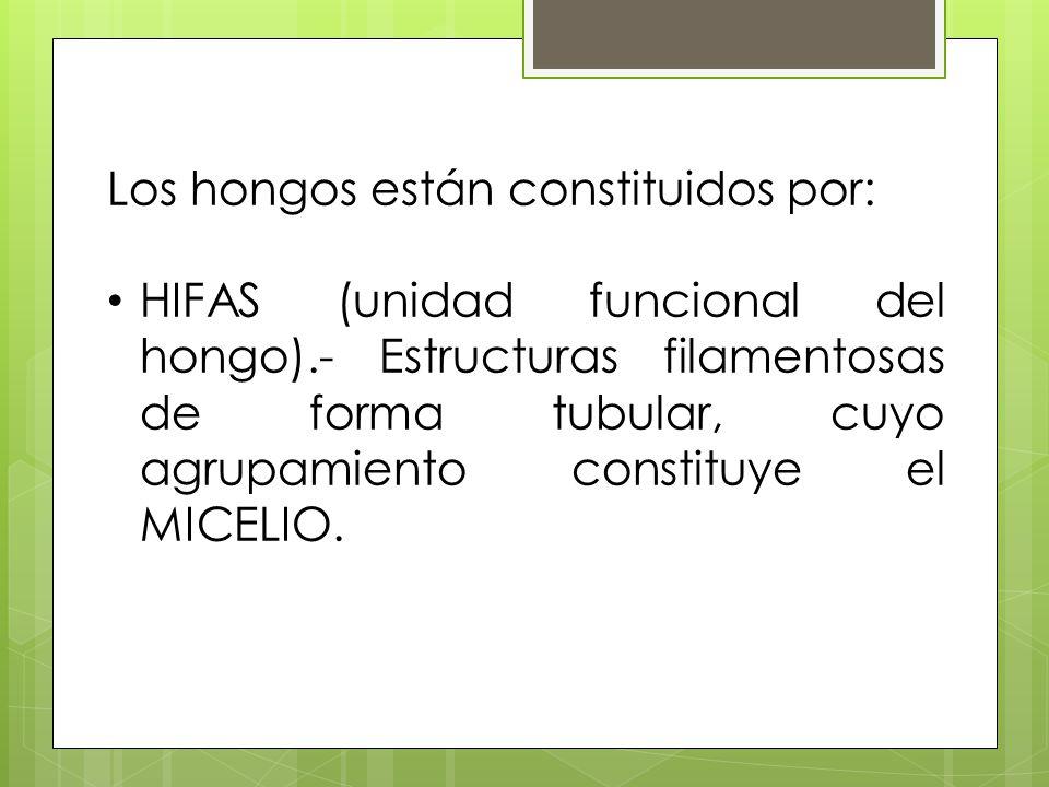 Los hongos están constituidos por: HIFAS (unidad funcional del hongo).- Estructuras filamentosas de forma tubular, cuyo agrupamiento constituye el MIC