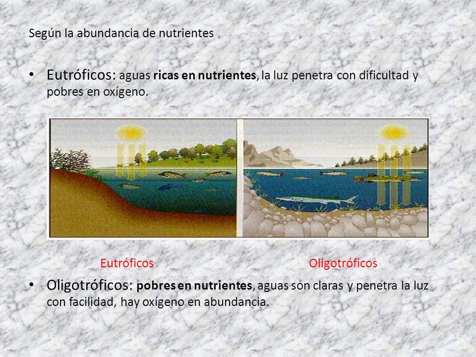 Según la abundancia de nutrientes Eutróficos: aguas ricas en nutrientes, la luz penetra con dificultad y pobres en oxígeno. Eutróficos Oligotróficos O