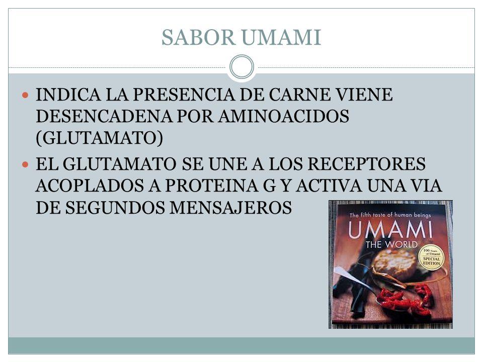SABOR UMAMI INDICA LA PRESENCIA DE CARNE VIENE DESENCADENA POR AMINOACIDOS (GLUTAMATO) EL GLUTAMATO SE UNE A LOS RECEPTORES ACOPLADOS A PROTEINA G Y ACTIVA UNA VIA DE SEGUNDOS MENSAJEROS