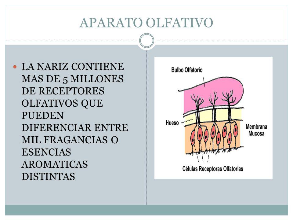 APARATO OLFATIVO LA NARIZ CONTIENE MAS DE 5 MILLONES DE RECEPTORES OLFATIVOS QUE PUEDEN DIFERENCIAR ENTRE MIL FRAGANCIAS O ESENCIAS AROMATICAS DISTINTAS