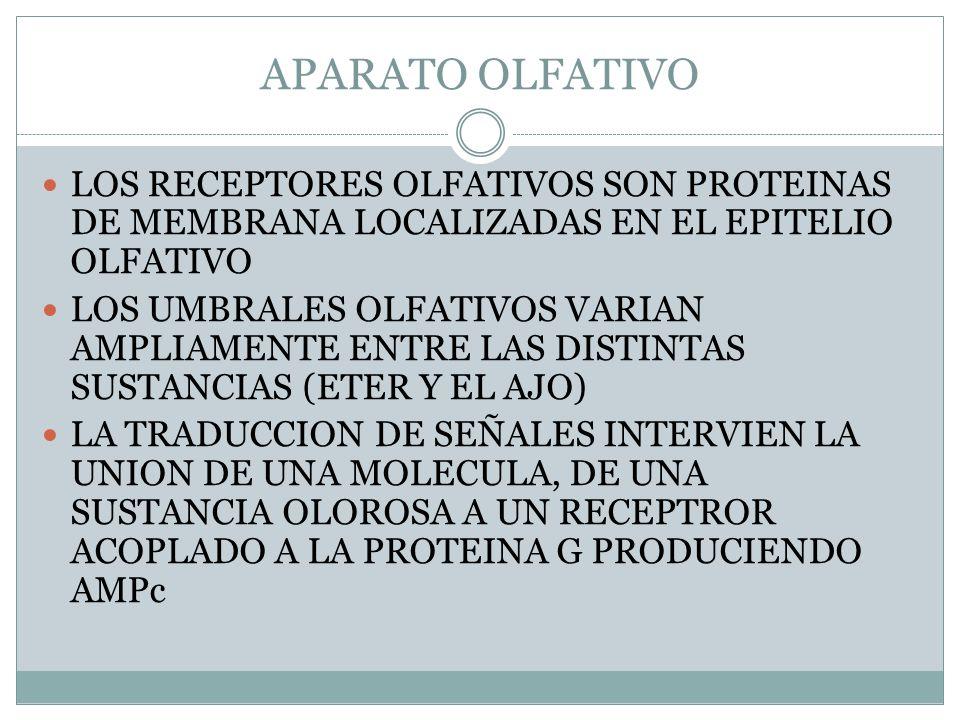 APARATO OLFATIVO LOS RECEPTORES OLFATIVOS SON PROTEINAS DE MEMBRANA LOCALIZADAS EN EL EPITELIO OLFATIVO LOS UMBRALES OLFATIVOS VARIAN AMPLIAMENTE ENTRE LAS DISTINTAS SUSTANCIAS (ETER Y EL AJO) LA TRADUCCION DE SEÑALES INTERVIEN LA UNION DE UNA MOLECULA, DE UNA SUSTANCIA OLOROSA A UN RECEPTROR ACOPLADO A LA PROTEINA G PRODUCIENDO AMPc