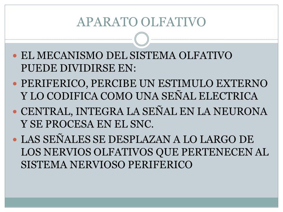 APARATO OLFATIVO EL MECANISMO DEL SISTEMA OLFATIVO PUEDE DIVIDIRSE EN: PERIFERICO, PERCIBE UN ESTIMULO EXTERNO Y LO CODIFICA COMO UNA SEÑAL ELECTRICA CENTRAL, INTEGRA LA SEÑAL EN LA NEURONA Y SE PROCESA EN EL SNC.