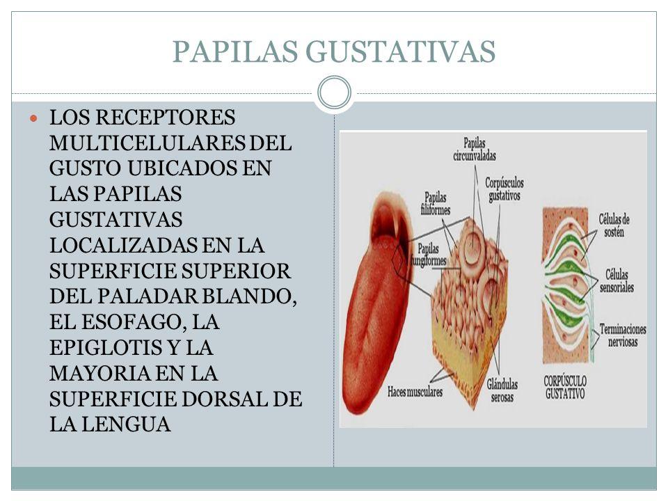 PAPILAS GUSTATIVAS LOS RECEPTORES MULTICELULARES DEL GUSTO UBICADOS EN LAS PAPILAS GUSTATIVAS LOCALIZADAS EN LA SUPERFICIE SUPERIOR DEL PALADAR BLANDO, EL ESOFAGO, LA EPIGLOTIS Y LA MAYORIA EN LA SUPERFICIE DORSAL DE LA LENGUA