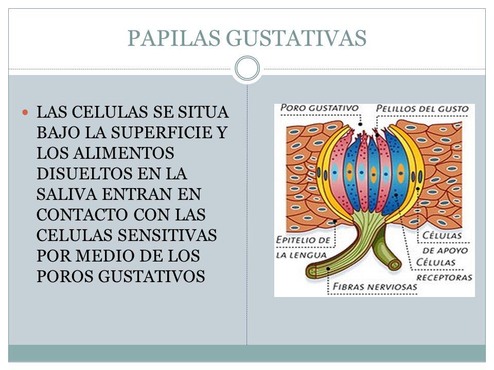 PAPILAS GUSTATIVAS LAS CELULAS SE SITUA BAJO LA SUPERFICIE Y LOS ALIMENTOS DISUELTOS EN LA SALIVA ENTRAN EN CONTACTO CON LAS CELULAS SENSITIVAS POR MEDIO DE LOS POROS GUSTATIVOS
