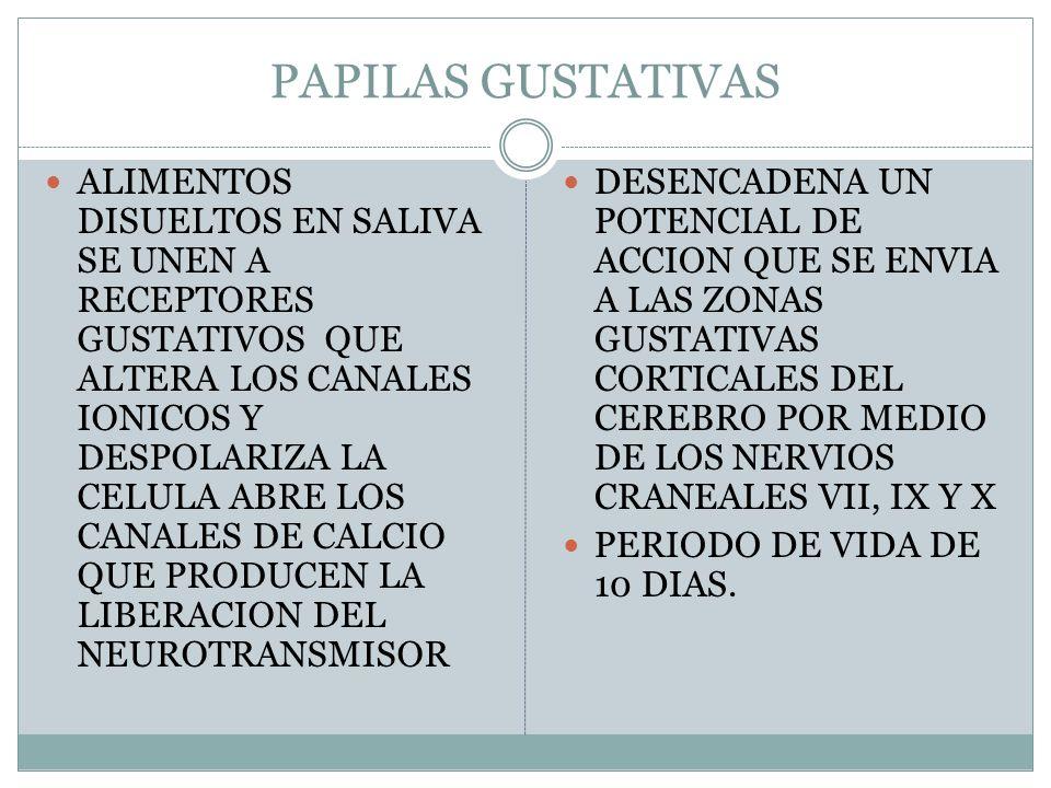 PAPILAS GUSTATIVAS ALIMENTOS DISUELTOS EN SALIVA SE UNEN A RECEPTORES GUSTATIVOS QUE ALTERA LOS CANALES IONICOS Y DESPOLARIZA LA CELULA ABRE LOS CANALES DE CALCIO QUE PRODUCEN LA LIBERACION DEL NEUROTRANSMISOR DESENCADENA UN POTENCIAL DE ACCION QUE SE ENVIA A LAS ZONAS GUSTATIVAS CORTICALES DEL CEREBRO POR MEDIO DE LOS NERVIOS CRANEALES VII, IX Y X PERIODO DE VIDA DE 10 DIAS.