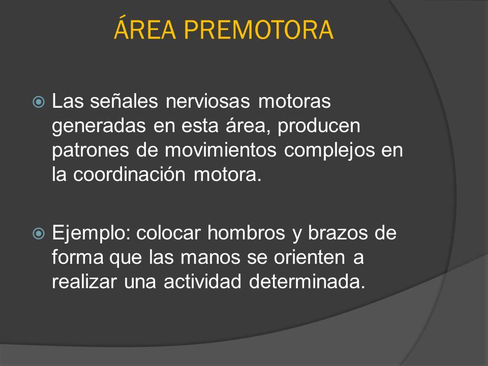 ÁREA PREMOTORA Las señales nerviosas motoras generadas en esta área, producen patrones de movimientos complejos en la coordinación motora. Ejemplo: co