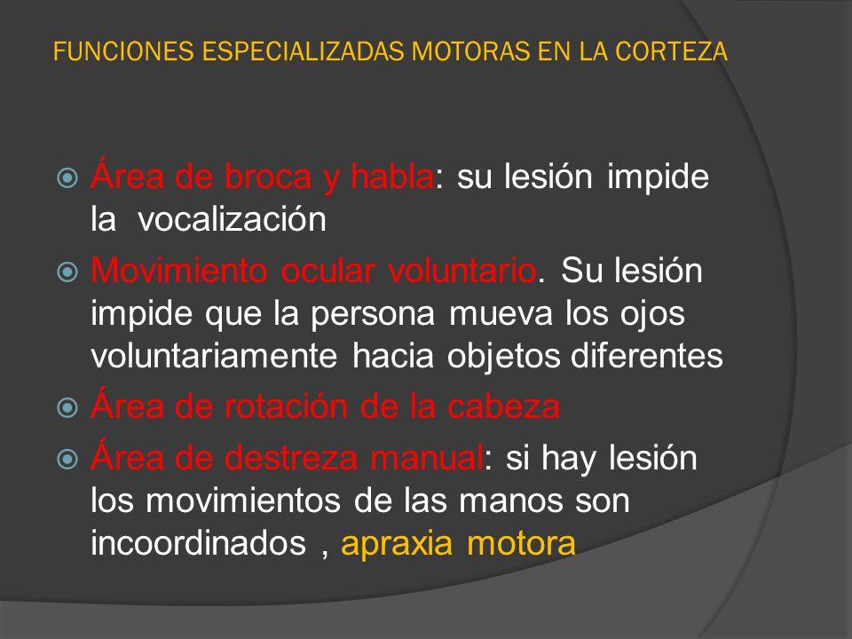 FUNCIONES ESPECIALIZADAS MOTORAS EN LA CORTEZA Área de broca y habla: su lesión impide la vocalización Movimiento ocular voluntario. Su lesión impide