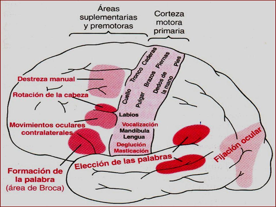 FASCICULO CORTICOESPINAL VIA PIRAMIDAL 30% nace en la corteza motora primaria 30% nace en área motora premotora y motora suplementaria 40% nace en el área somatosensitiva por detrás del surco central