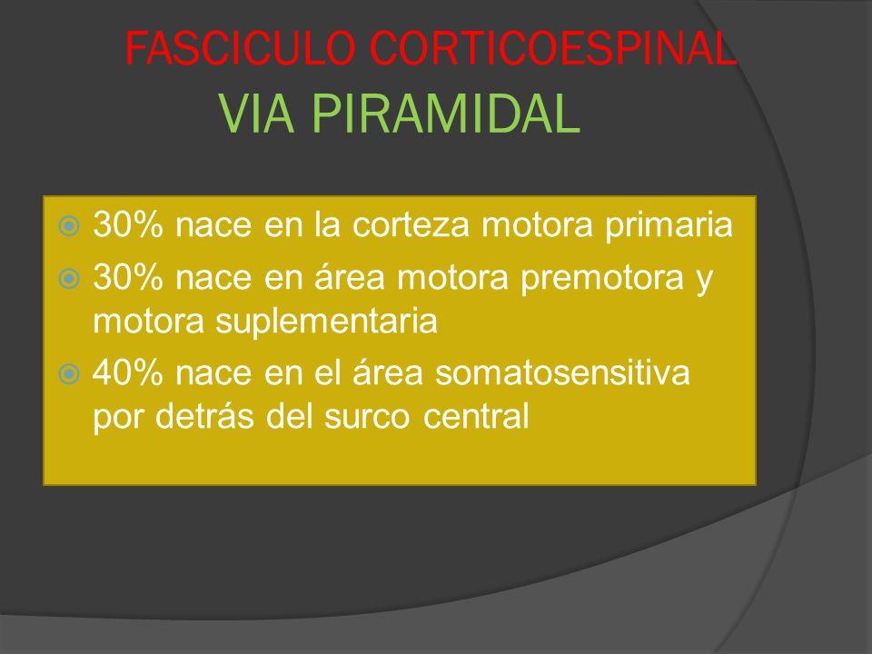 FASCICULO CORTICOESPINAL VIA PIRAMIDAL 30% nace en la corteza motora primaria 30% nace en área motora premotora y motora suplementaria 40% nace en el