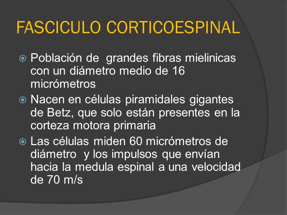 FASCICULO CORTICOESPINAL Población de grandes fibras mielinicas con un diámetro medio de 16 micrómetros Nacen en células piramidales gigantes de Betz,