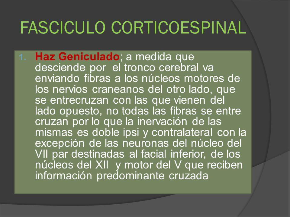 FASCICULO CORTICOESPINAL 1. Haz Geniculado; a medida que desciende por el tronco cerebral va enviando fibras a los núcleos motores de los nervios cran